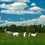 козы на поле