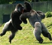 обезьяны дерутся